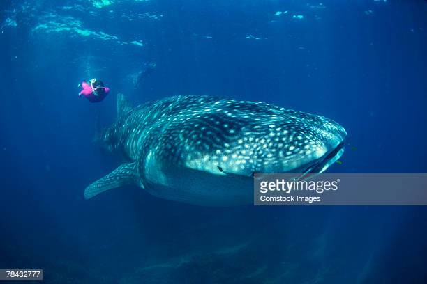whale shark with scuba diver - whale shark stock pictures, royalty-free photos & images