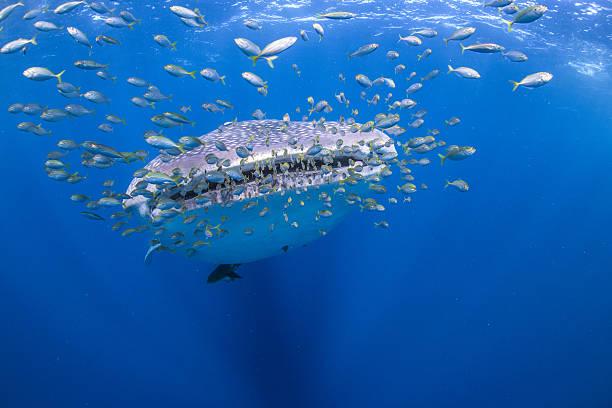 Exmouth whale shark tours
