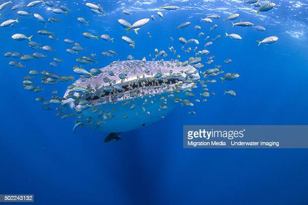whale shark with squadron