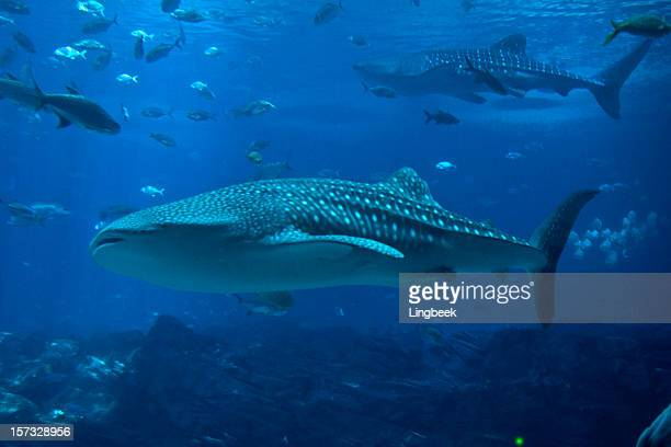 whale sharks and lots of fish - whale shark stock pictures, royalty-free photos & images