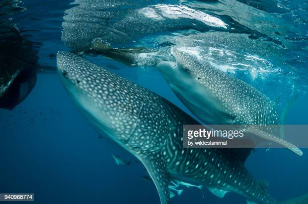 Whale sharks feeding near a fishing net hanging from a floating fishing platform, Cenderawasih Bay, West Papua, Indonesia.