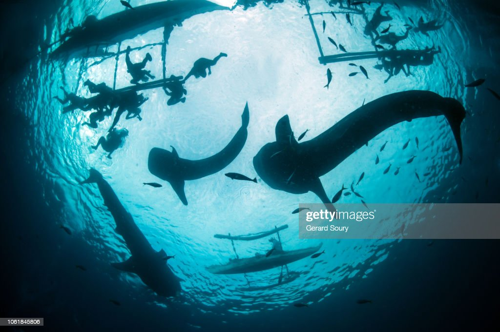 Whale sharks feeding on shrimps delivered by fishermen for the spectators : Stock Photo
