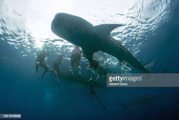 whale sharks feeding on shrimps delivered by fishermen for the spectators - provincia de cebú fotografías e imágenes de stock