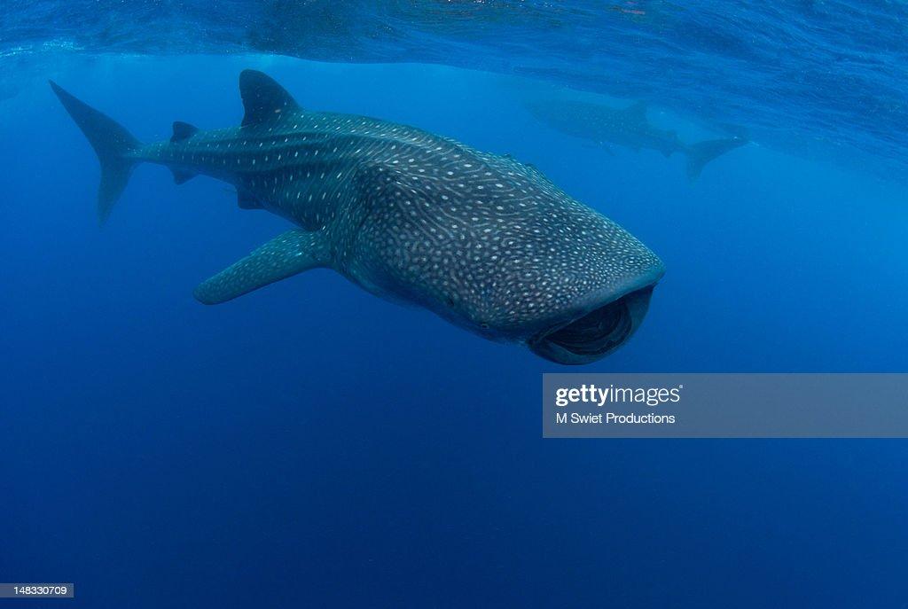 Whale sharks : Stock Photo