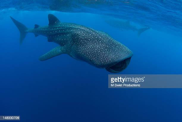 whale sharks - whale shark stock pictures, royalty-free photos & images