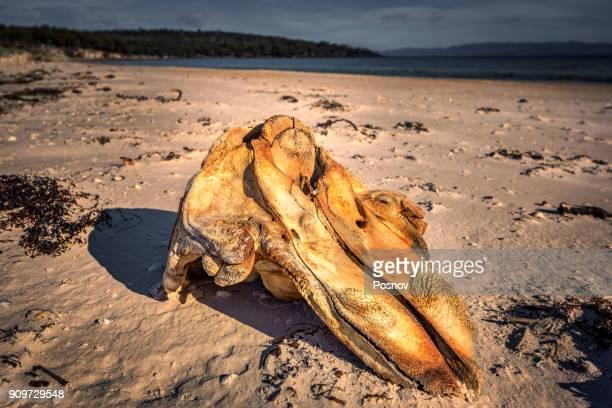 Whale skull at Coocks Beach
