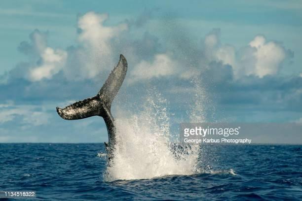 whale splashing with tail in water - las azores fotografías e imágenes de stock