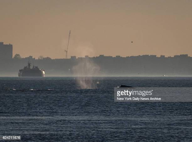 A whale spouts as it heads south on the Hudson River near the George Washington Bridge in Manhattan on Wednesday November 16 2016