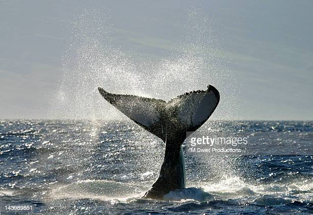 Whale tail fluke slap