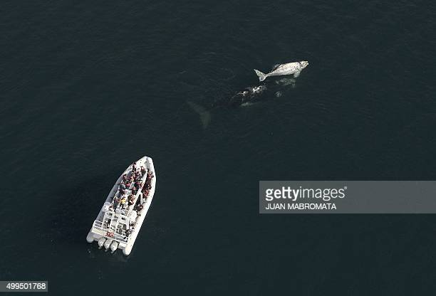 A whale watching boat with tourists navigates near a Franca Austral whale and her white calf swiming at the Golfo Nuevo near Puerto Piramides at...