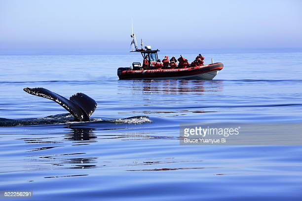 whale watching excursion - quebec stock pictures, royalty-free photos & images