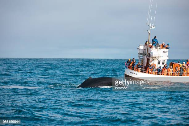 whale watching in iceland - husavik stock photos and pictures