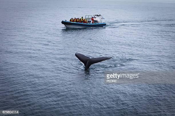 whale watching, near husavik - husavik stock photos and pictures