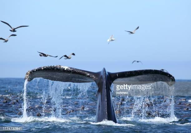 モントレーベイカリフォルニアでホエールウォッチングアメリカ - クジラ ストックフォトと画像