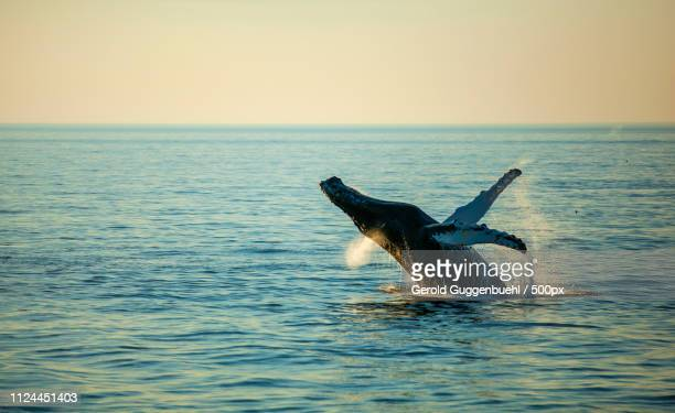 whale watching - gerold guggenbuehl stock-fotos und bilder