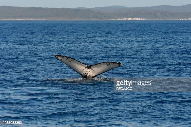 Whale watching with Freedom Whale Watch & Charters www.freedomwhalewatch.com.au. Hervey Bay. Queensland. Australia.