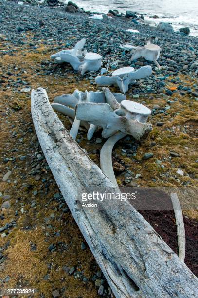 Whalebones remaining from whaling times at the Polish research station Henryk Arctowski in Admiralty Bay on King George Island, South Shetland...