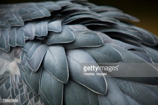 Whale-headed stork (Balaeniceps rex)