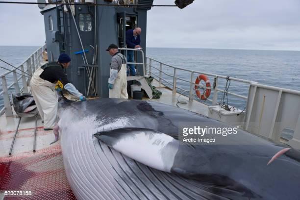 whalers prepare to skin the minke whale aboard the hrafnreydur ko-100 - pesca de baleia - fotografias e filmes do acervo