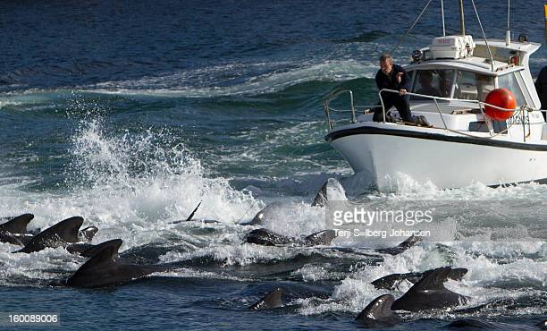 CONTENT] Whale's are driven to swim onto the beach The man on the boat is banging his hand on the rail to make noise
