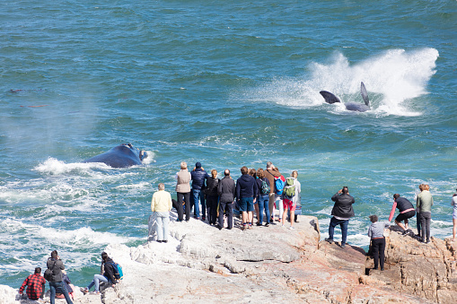 Whales jumping near Hermanus, South Africa 1088169824