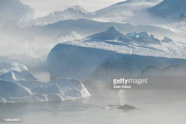 Whales swim among icebergs jammed into the Ilulissat Icefjord during a week of unseasonably warm weather on August 3 2019 near Ilulissat Greenland...