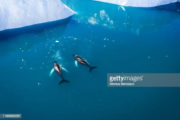 whales swimming in between the icebergs - ilulissat stock-fotos und bilder