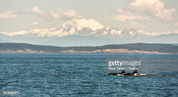 whales swimming in sea - victoria canada stock pictures, royalty-free photos & images