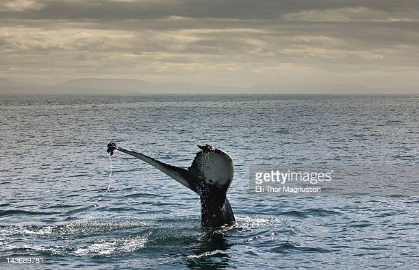 whales tail coming out of water - husavik stock photos and pictures
