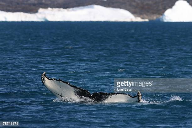 A whale's tail rises from the sea as it swims near the village of Ilimanaq August 27 Greenland Scientists believe that Greenland with its melting ice...