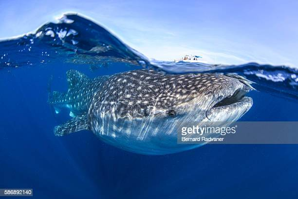 whaleshark at the surface below a small boat