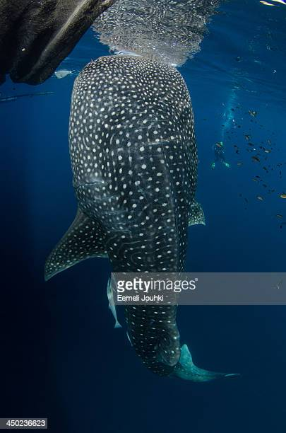 Whaleshark being fed by local fishermen