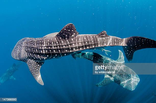 whalesharks - whale shark stock pictures, royalty-free photos & images