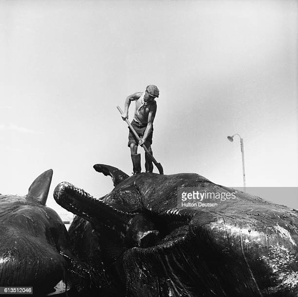 Whaling in Peru in Paracas Peninsula 1954 Flensing starts on the topside of the whale | Location Paracas Peninsula Peru
