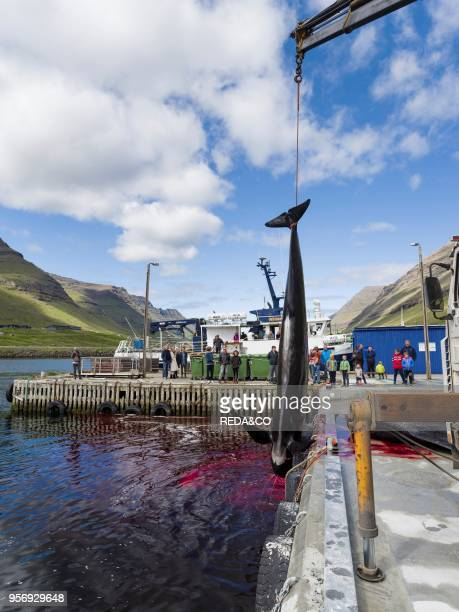 Whaling Long Finned Pilot Whale on the Faroe Islands Hvannasund 2016 Whaling on the Faroe Islands is for subsistance and local consumption only Meat...