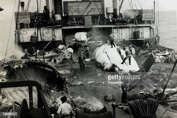 circa 1954 The whale carcassses on the deck of the Slava a Russian floating blubber factory being dissected