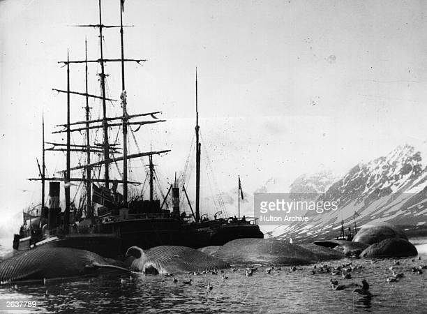 A whaling ship with its sails down in Spitzbergen surrounded by several whales lying dead in the sea Original Artwork Catchpole Collection