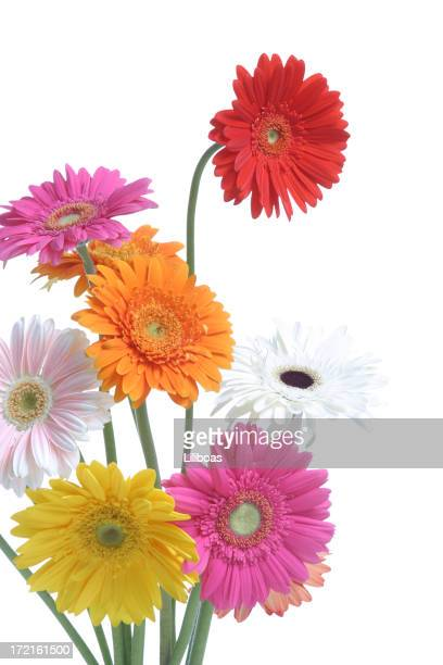 what a daisy! - gerbera daisy stock pictures, royalty-free photos & images