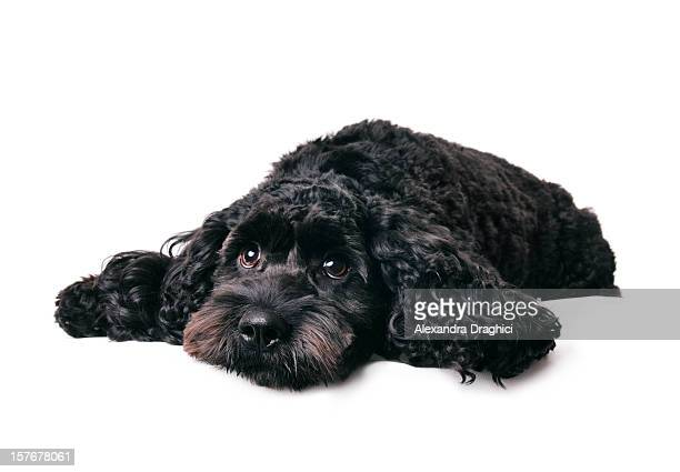 what a dog day... - cocker spaniel stock photos and pictures