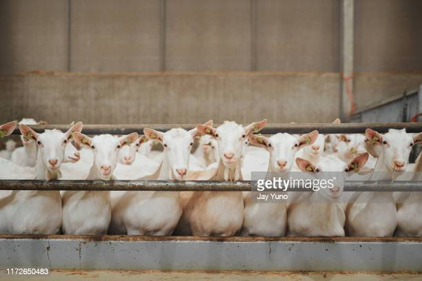 what a good looking flock of goats - goat stock pictures, royalty-free photos & images