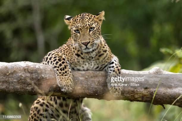 what brings you to my home asked the leopard - tierisches verhalten stock-fotos und bilder