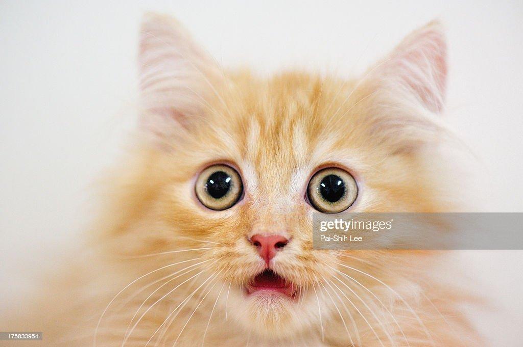 A *Chinchilla cat