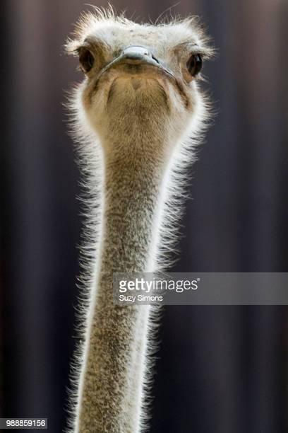 what? - ostrich stockfoto's en -beelden