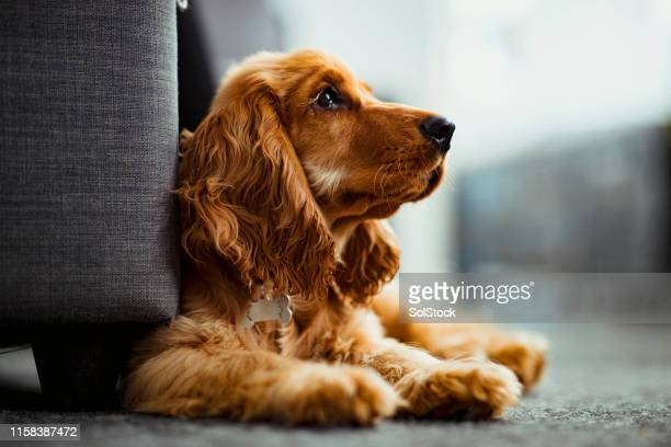 what's over there? - cocker spaniel stock pictures, royalty-free photos & images