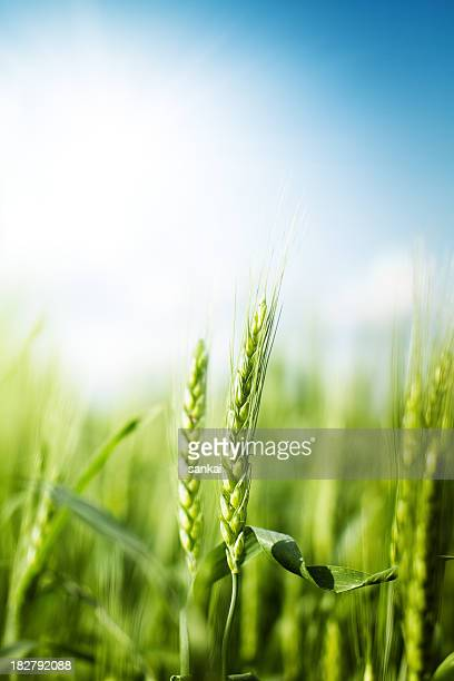 Wheat against bright sun