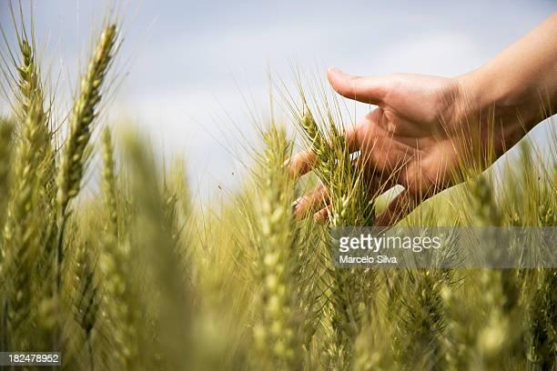 Weizen und delikater hand
