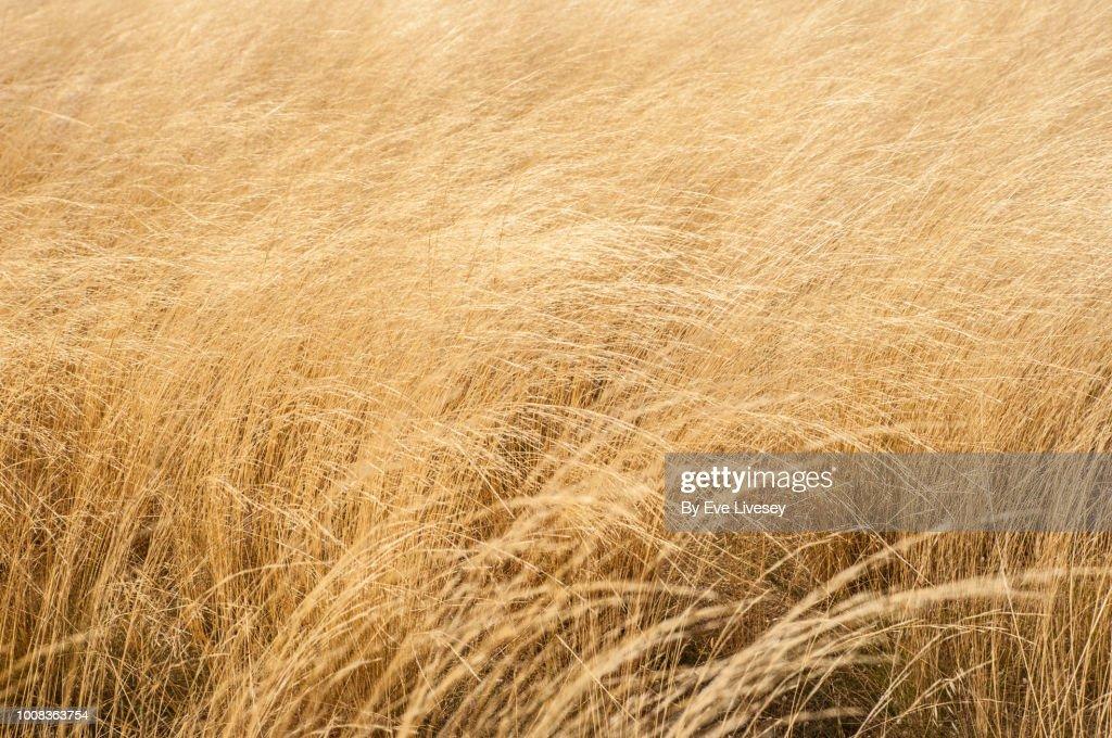 Wheat Background : Stock Photo