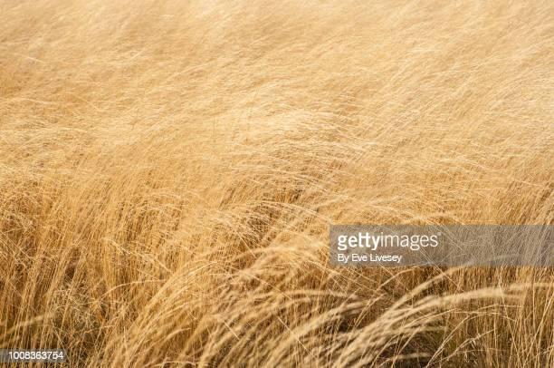 wheat background - grano graminacee foto e immagini stock
