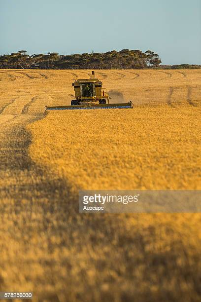 Wheat being harvested Near Penong Nullarbor Plain South Australia Australia