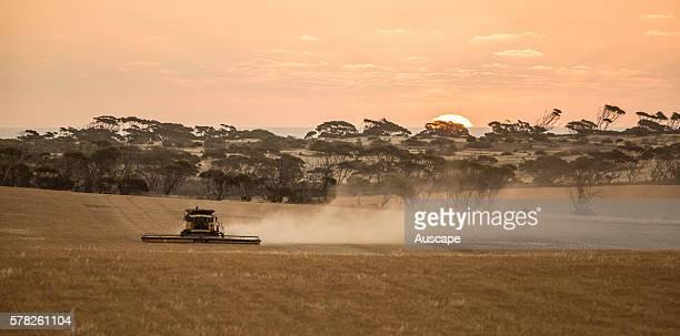 Wheat being harvested towards sunset Near Penong Nullarbor Plain South Australia Australia